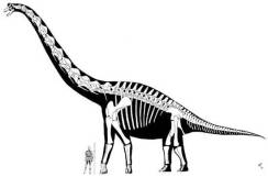 sonorasaurus-with-man